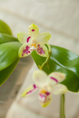 Beautiful rare orchid in a pot on a white background Reklamní fotografie