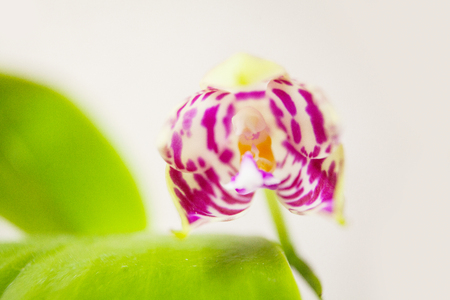 Beautiful rare orchid in a pot on a white background Stock fotó