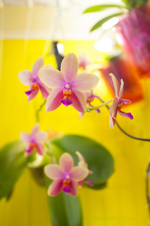 Beautiful rare orchid in a pot on a yellow background