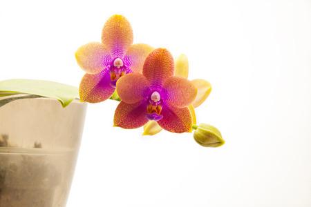 Hermosa orquídea rara en una olla sobre un fondo blanco.