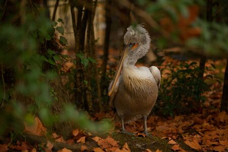 beautiful cute pelican stands on the grass in autumn in the forest Banque d'images - 129374435