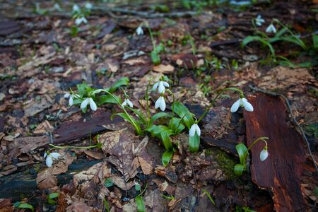 beautiful white snowdrop in spring on a blurred background Reklamní fotografie - 129374723