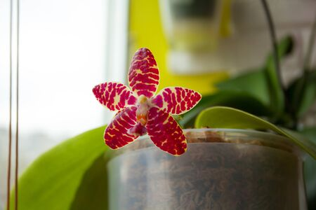 Beautiful rare orchid in a pot on a blurred background Reklamní fotografie - 129374732