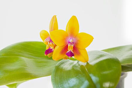 Beautiful rare orchid in a pot on a White background Reklamní fotografie - 129374737