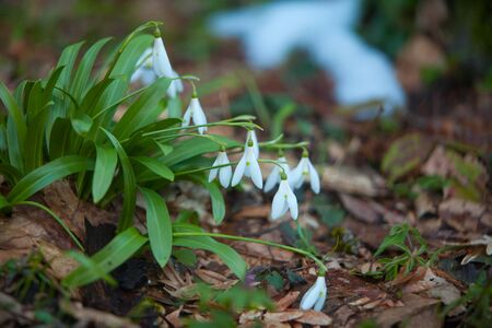 beautiful white snowdrop in spring on a blurred background Reklamní fotografie - 129374740