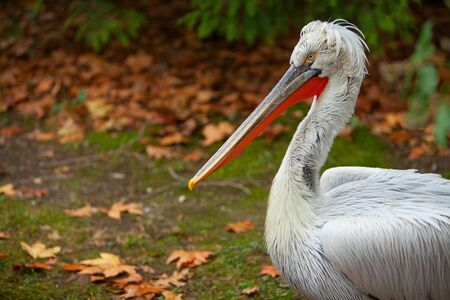 beautiful cute pelican stands on the grass in autumn in the forest Banque d'images - 129374653