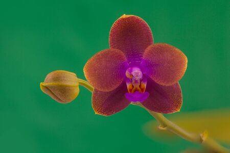 Beautiful rare orchid in a pot on a green background Imagens