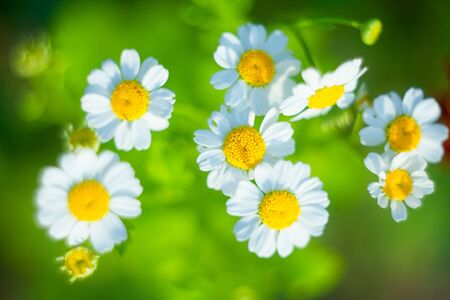 beautiful  white Chamomile on a green background