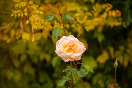 beautiful pink rose flower on a green background