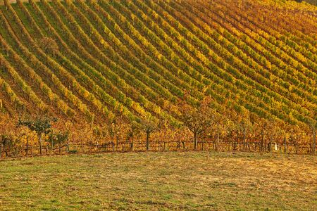 Natural landscape of vineyard of  tuscany in autumn in Italy Imagens