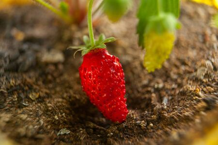 ripe red forest organic strawberries on branch Imagens
