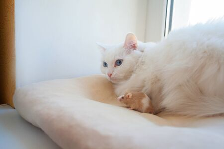 beautiful white cat with a mouse on his head