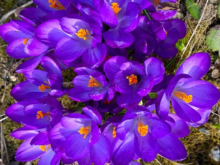 beautiful background image of spring blooming crocuses in the garden