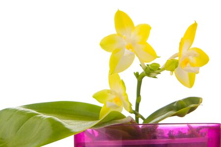 Beautiful rare orchid in a pot on aWhite background Фото со стока