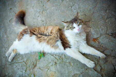 sprawled: bohemian cat sprawled on the road Stock Photo