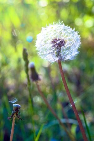 Ripe dandelion on a green meadow photo