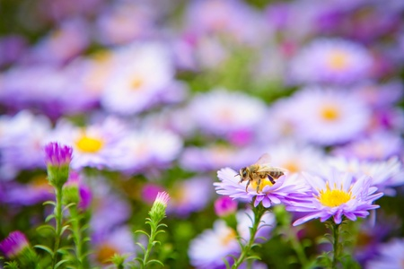 industrious: industrious bee on purple colors gather nectar Stock Photo