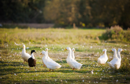 with duck: varios patos dom�sticos blancos en un estanque