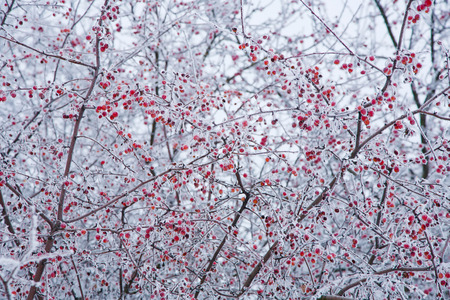 mountain cranberry: Frosty winter day, the ice crystals on the branches Stock Photo
