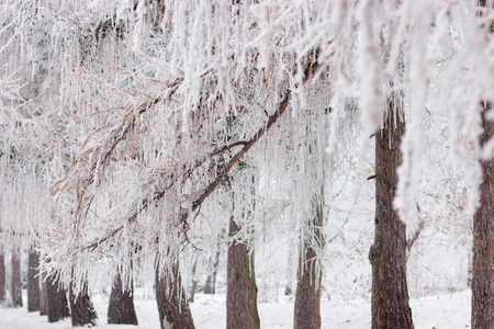 wintery day: Frosty winter day, the ice crystals on the branches Stock Photo