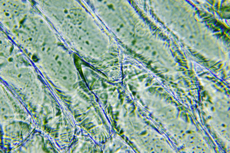 botanica: Under the microscope onion cells