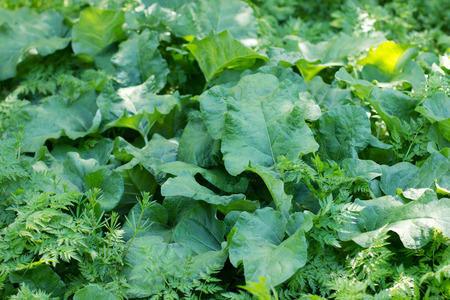 glade with big green leaves of burdock growing on it