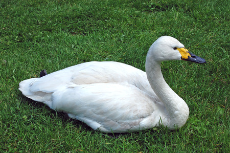 swan on the grass