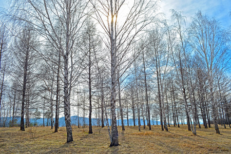 Birch grove on a clear sunny day in early spring  landscape Stock Photo