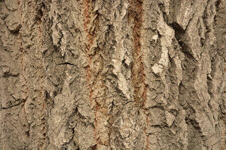 Poplar bark closeup Stock Photo