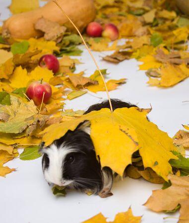 guinea pig: guinea pig