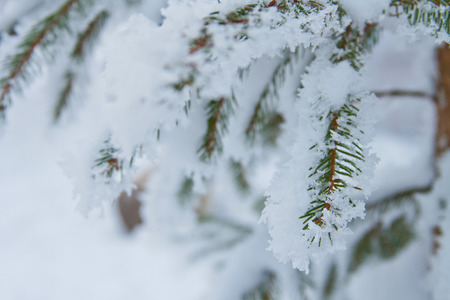 green spruce branches covered with white fluffy snow