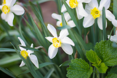 beautiful white daffodils bloomed in spring in the garden