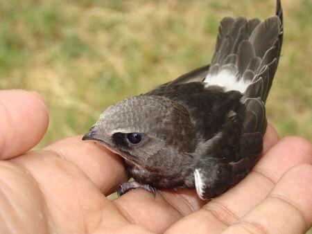 migratory: Common Swift-----a migratory Bird of India