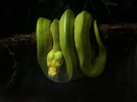 Snake with green scales hanging on tree branch at night in nature - Image