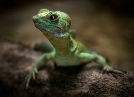 Lizard with green scales and yellow eyes in nature - Image 版權商用圖片