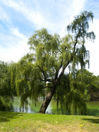 weeping willow: Weeping Willow in Central Park