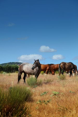 stud: Group of horses grazing in the field