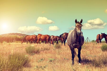 horseflesh: Group of wild horses grazing in the field Stock Photo