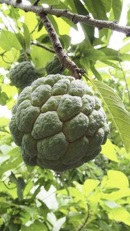 custard apples: Green custard apple tree