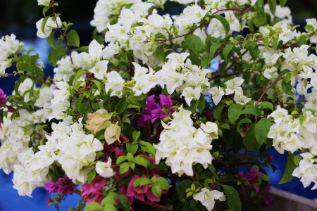 Bougainvillea flower with many colors Stock Photo