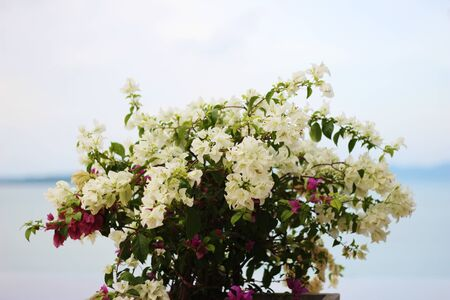 Bougainvillea flower with sea and sky background Stock Photo