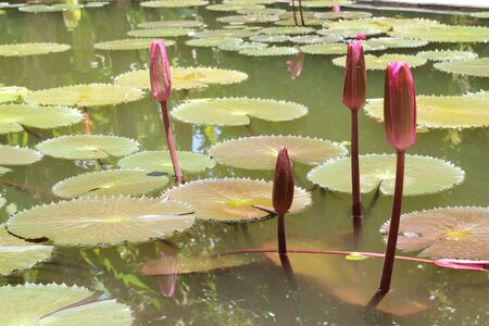 Budding lotus in pond Stock Photo