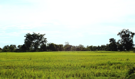 Rice field in rural area Thailand  Stock Photo