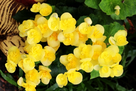 Begonia, yellow color