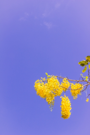Golden shower, Thai national flower, against blue sky background photo