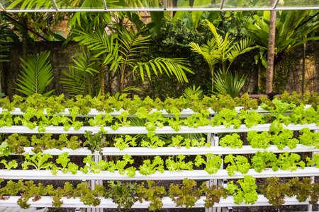 Organic hydroponic vegetables in garden