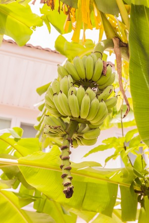 nam: Young raw banana bunch called Kluay Nam Wha, Thailand Stock Photo