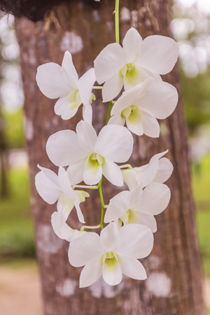 Beautiful white orchid in vertical view with tree background Stock Photo