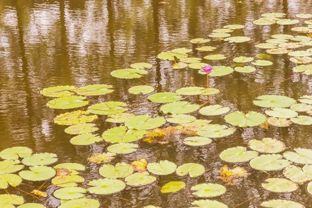 Lotus in pond can be used as background
