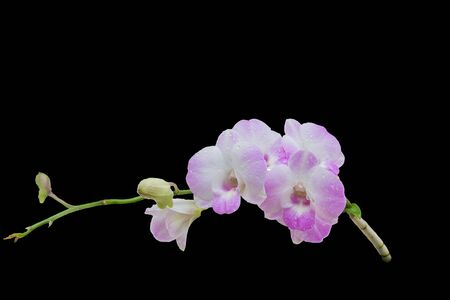 Beautiful pink-white color orchids isolated on black background Stock Photo